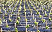 viticulture (1)